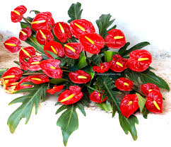 anthurium flower anthurium andraeanum flower varieties