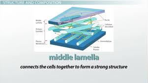 plant cell wall function structure u0026 composition video
