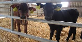 Simple Calf - calf housing 8 simple steps to get it right agriland