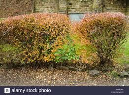 ornamental hedge in autumn colour skipton