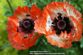 poppies plant care and collection of varieties garden org