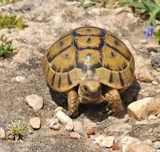 Tortoise Bedding Greek Tortoise Care Sheet