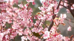 nightingale bird on pink cherry blossom tree in japanese garden ver