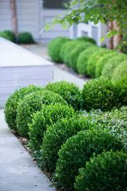 best 25 boxwood bush ideas on pinterest green velvet boxwood