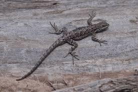 suburban naturalist what a lizard wants
