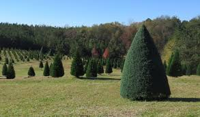 south carolina u0027s christmas tree farmers have plenty of reasons to