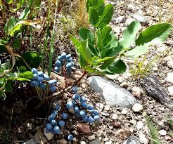 native plant nurseries oregon oregon grapes