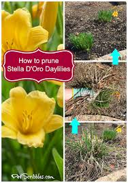 stella d oro daylily how to prune stella d oro daylilies pet scribbles