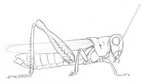 drawn insect grasshopper pencil and in color drawn insect
