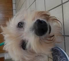 bluetick coonhound terrier mix prior adoptions best dawg rescue inc