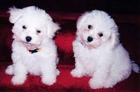 american eskimo dog poodle mix list of popular poodle mix dog breeds