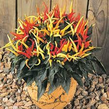 ornamental pepper seeds grow ornamental peppers harris seeds
