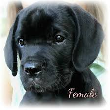 affenpinscher puppies for sale in ohio mastador puppies adopted puppy proctorville ohio oh