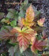 physocarpus amber jubilee2 jpg