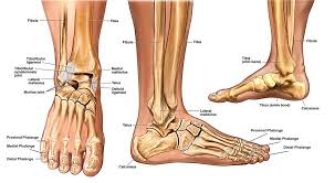 Foot Ligament Anatomy Human Anatomy Ankle Anatomy And Sprains Pulled Tendon In Foot