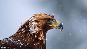 strange eagle wallpapers bbc u0027s planet earth ii u0027s incredible eagle footage was fake daily