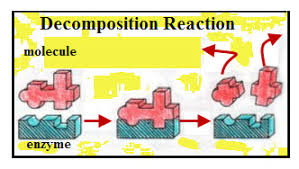 enzymes that decompose vs enzymes that synthesize