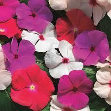 vinca flowers vinca seeds madagascar periwinkle annual flower seeds