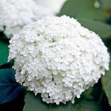 hydrangea white best 25 annabelle hydrangea ideas on hortensia