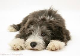 bearded collie brown dog bearded collie pup photo wp17151