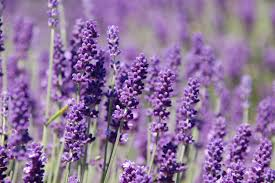 native plants of france lavender lavandula u2014 heritage garden