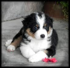australian shepherd puppy 113 best aussies images on pinterest animals australian