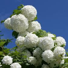 native hedging plants uk gardenersdream viburnum opulus 60 90cm 2 3ft bare root guelder