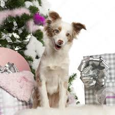 miniature australian shepherd puppy 1 year old with christmas