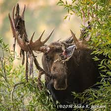 a harbinger of fall moose stripping his velvet covered antlers