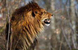 male lion wallpapers angry lion stock photos royalty free stock images