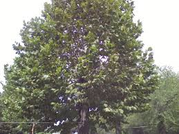5 worst trees for the lazy landscaper dengarden