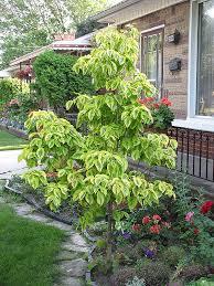 daybreak flowering dogwood cornus florida