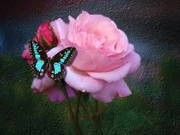 roses images butterfly and hd wallpaper and background photos