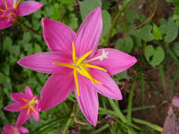 file pink fairy lily jpg wikimedia commons