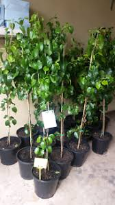capital pear in plants gumtree australia free local