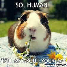 Shaved Guinea Pig Meme - mejores 26 im磧genes de guinea pigs memes en pinterest conejillos