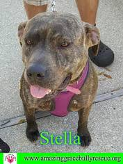 american pitbull terrier hound mix view ad american pit bull terrier plott hound mix dog for