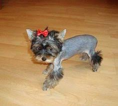 types of yorkie haircuts different yorkie haircuts yorkies pinterest yorkie haircuts