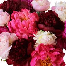 peonies flower flowers mixed colors for april