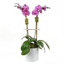 orchid delivery order phalaenopsis orchid plant online send to lebanon delivery