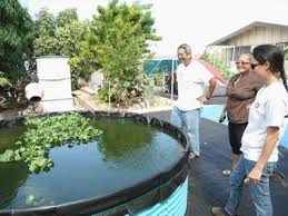Backyard Fish Farming Tilapia Friendly Aquaponics Newsletter 51