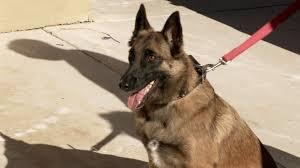 belgian sheepdog florida watch roxy the attack dog video flipping vegas a u0026e