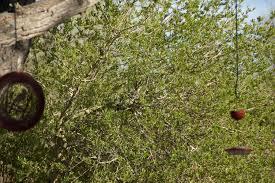 a bird in the bush fat finch u2014 backyard birds birding u0026 blogging