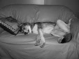 comment empecher chien de monter sur le canapé empecher un chien de monter sur le canapé 100 images ce chiot n