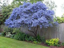 71 best flowering ornamental trees images on flowers