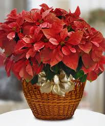 poinsettia plant the iconic symbol of the holiday season