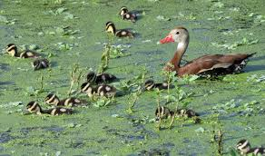 the bumble bee ducklings are back birder u0027s journey