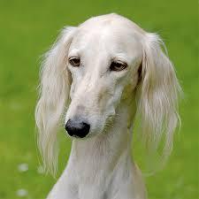american eskimo dog short hair saluki dog breed information pictures characteristics u0026 facts