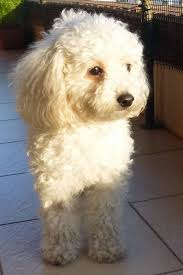 bichon frise therapy dog apricot poodles make great therapy dogs pets my dear friends