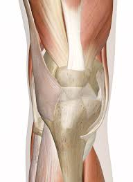 Interactive Muscle Anatomy Muscles Of The Knee Anatomy Pictures And Information